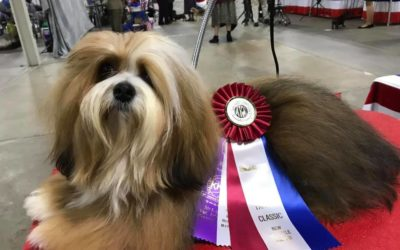 Another bred by Champion at Angelheart Havanese